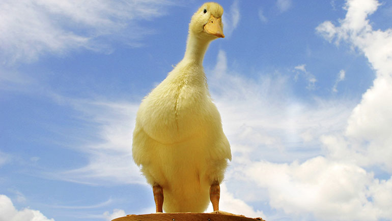A lame duck is an elected official who is approaching the end of his or her tenure, and especially an official whose successor has already been elected.  <b>Description</b>  The status can be due to having lost a re-election bid choosing not to seek another term at the expiration of the...