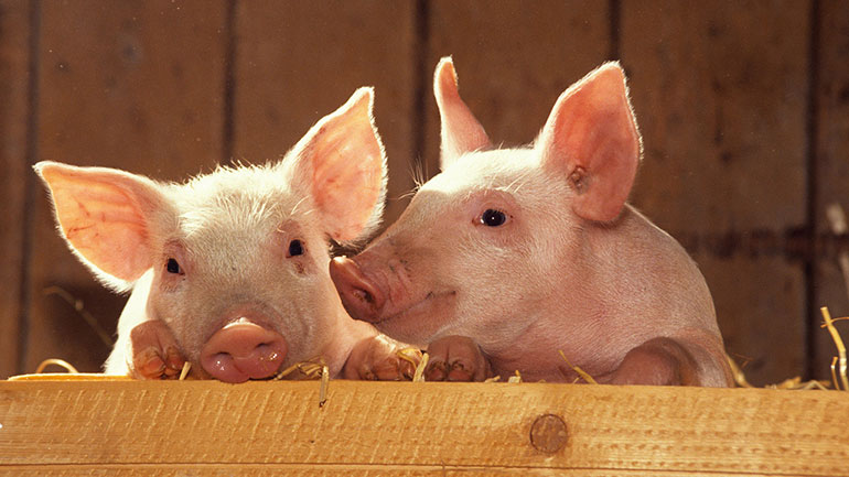 Pig Day recognizes and gives thanks to domesticated pigs. For some unknown reason, big, pot-bellied pigs seen in zoos, are often the symbol of the day. Pigs are clever and intelligent animals. But, most people are unaware of this high level of intelligence. They can be taught to do tricks. Some...