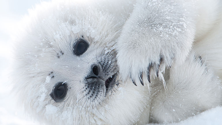 The International Day of Action for Seals is a worldwide protest against the Canadian seal hunt, which takes place in late March/early April. 