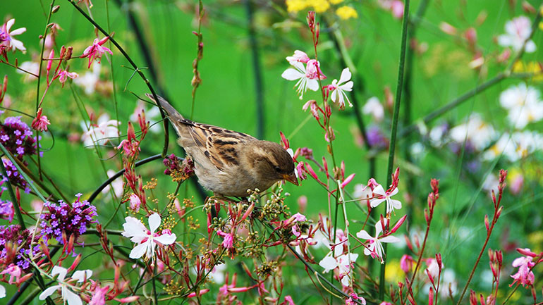 World Sparrow Day is a day designated to raise awareness of the House Sparrow and other common birds to urban environments, and of threats to their populations, observed on 20 March. It is an international initiative by the Nature Forever Society of India in collaboration with the Eco-Sys Action...