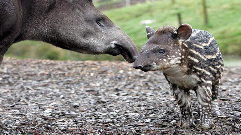 World Tapir Day has been established, in the first instance, to raise awareness about the four species of tapir that inhabit Central and South America and South-East Asia. Each of the four species is in decline, with the Mountain Tapir facing extinction within the next twenty years, should...
