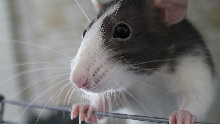 Rat fanciers around the globe created this holiday to celebrate the bond they share with their pet rats and gather with fellow rat lovers.  World Rat Day was founded to promote rats as the great companions they are. April 4th was the date chosen for the holiday as it was the date of inception...