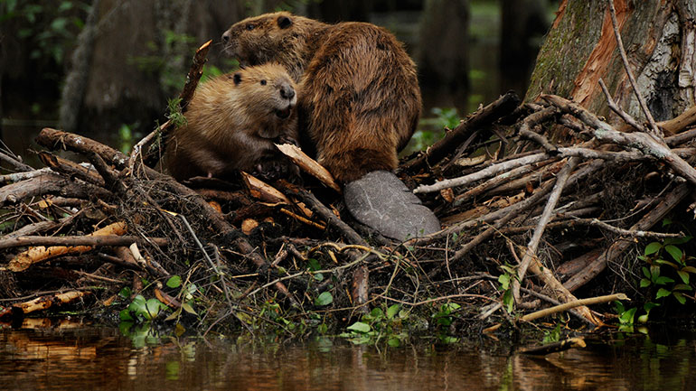 """International Beaver Day on April 7 celebrates the """"keepers of the streams.""""  April 7 was chosen as International Beaver Day because it is the birthday of the late Dorothy Richards of Little Falls, who studied beavers for 50 years. """"Beaver Woman"""" started..."""