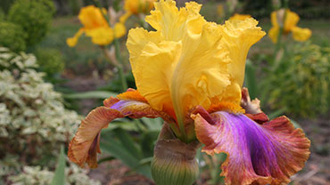 Iris Day