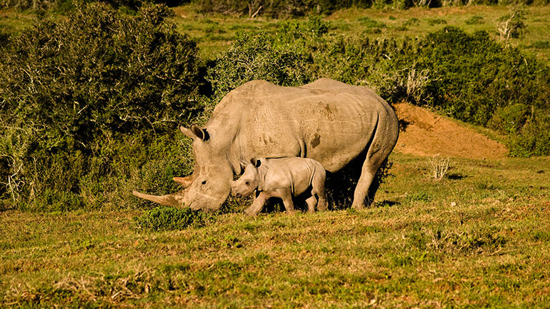 The day serves to draw attention to the plight of the Rhinoceros in the wild. The Rhinoceros is a fascinating creature. It is the fifth largest land animal. The genus contains two species, the Indian Rhinoceros and the Javan Rhinoceros. Although both members are endangered, the Javan Rhinoceros is...