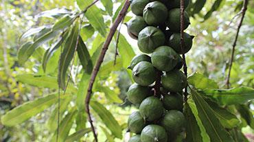 Macadam Nut Day