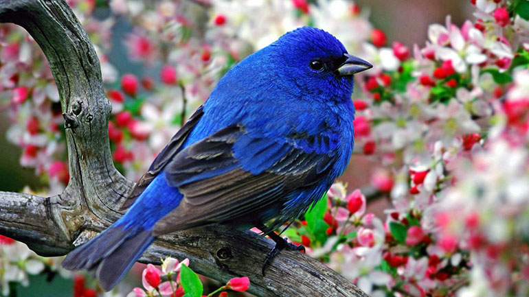 The bluebird is native to North America, and has become a worldwide symbol of love and happiness. The iconic 'bluebird of happiness' can be traced back to at least 1908, when it appeared in a Nobel Prize-winning play, 'The Blue Bird.'  The 'Bluebird of Happiness' A popular American song of...